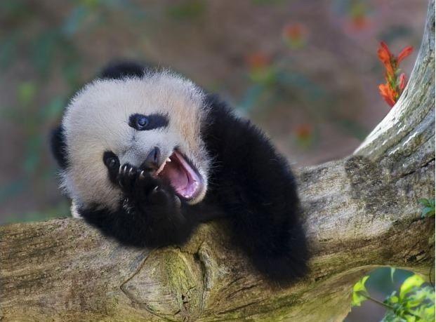 cms_1133/panda_ride.jpg