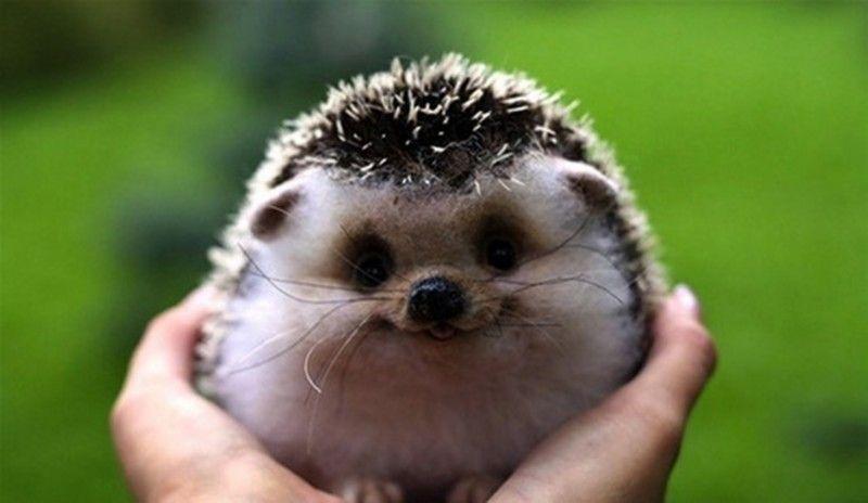 cms_1155/smiling-hedgehog.jpg